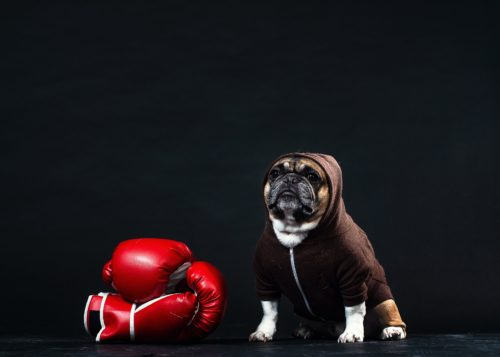 a-french-bulldog-in-a-hoodie-with-boxing-gloves